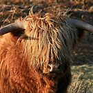 Highland Cattle - Highland Cow - Highlander by Martina Cross