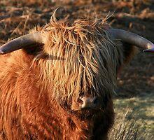 Highland Cattle - Highland Cow - Highlander by Martina Cross