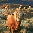 Highland Cow - Highland Cattle - Highlander by Martina Cross