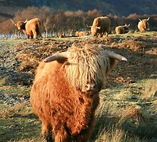 Highland Cow - Highland Cattle - Highlander by Martina Cross