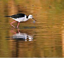Black-winged Stilt ~ On Golden Ponds by Robert Elliott