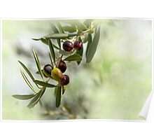 Ripe Olives Branch Poster