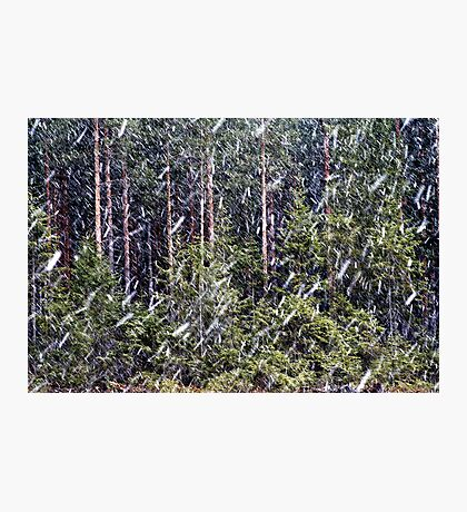 1.5.2014: Sleet in Coniferous Forest Photographic Print