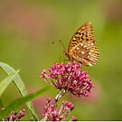 Fritillary On Milkweed 2014-2 by Thomas Young