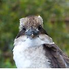 Kookaburra Portrait 3 by Trish Meyer