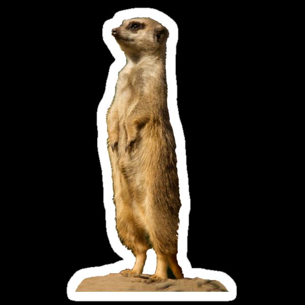 Meerkat by Jon Lees