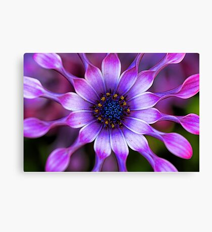Soprano - Lilac Spoon African Daisy Canvas Print