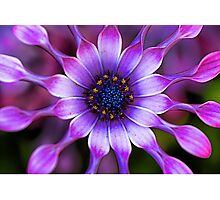 Soprano - Lilac Spoon African Daisy Photographic Print