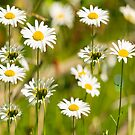 Daisies Galore 2014-1 by Thomas Young
