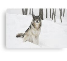 I Am Wolf - Timber  Wolf Canvas Print