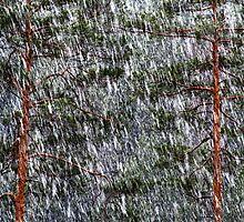 1.5.2014: Sleet and Pine Trees by Petri Volanen