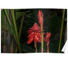 Red Torch Ginger Lily - Glossy, Exotic and Wonderful Poster