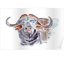African buffalo or Cape buffalo (Syncerus caffer) Poster