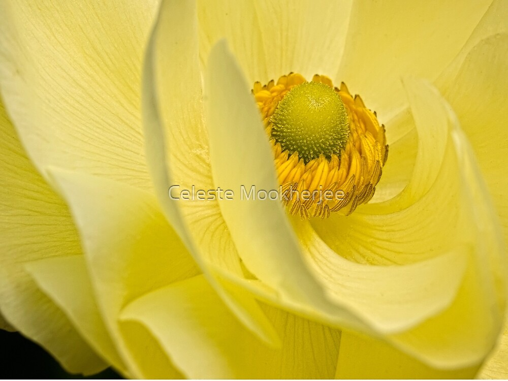 Mellow yellow by Celeste Mookherjee