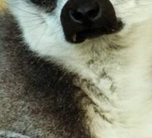 Ring-Tailed Lemur. Sticker