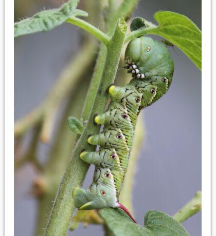 Little brother tomato hornworm..... Sticker