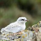 Juvenile Tern - Catlins - NZ by AndreaEL