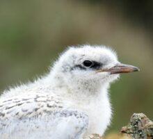 Juvenile Tern - Catlins - NZ Sticker