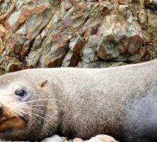 You Are Disturbing My Nap - Seal - Catlins - NZ Sticker