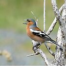 Chaffinch Song - Bluff - NZ by AndreaEL
