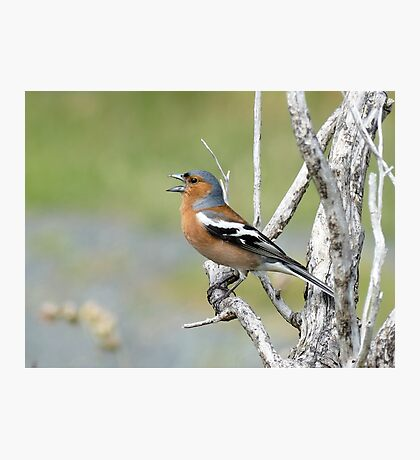 Chaffinch Song - Bluff - NZ Photographic Print