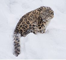 Snow Leopard by Henry Jager