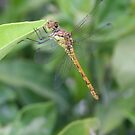 Green and Brown Dragonfly Holding On To Oleander by taiche