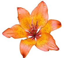 Coral Colored Lily Isolated on White by taiche