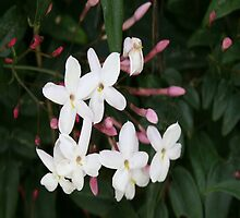 Delicate White Jasmine Blossom with Green Background by taiche