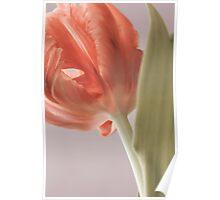 Beautiful tulip close up. Springtime. Poster