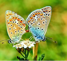 Butterflies mating by franceslewis