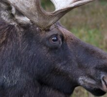 Canadian Moose Sticker