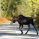 Jay Walking Moose - Algonquin Park, Canada by Jim Cumming