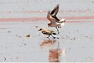 "Red-capped Plovers ~ ""Love is in the air""   by Robert Elliott"