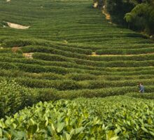 Longjing Tea Fields, Hangzhou, China Sticker