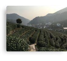 Longjing Tea Fields, Hangzhou, China Canvas Print