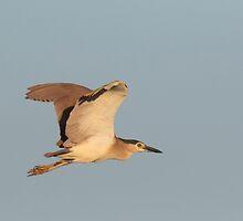 Sunset Night-heron by byronbackyard