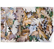 Top view of a layer of fallen oak leaves Poster