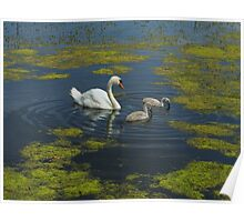 Mute Swan And Cygnets Poster