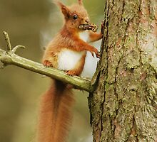 Red Squirrel - My Tree My Pine Cones! by Nigel Tinlin
