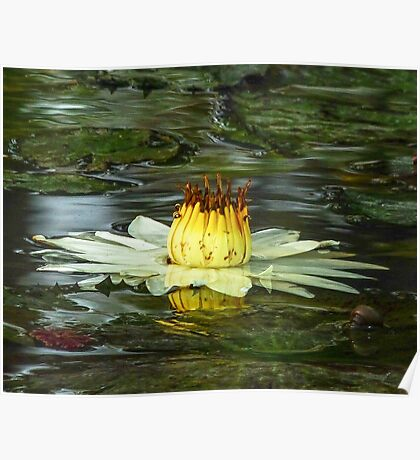 Artistic Waterlily Poster
