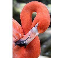 American Flamingo Photographic Print