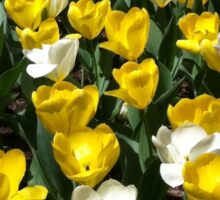 Yellow and White Tulips in Field Sticker