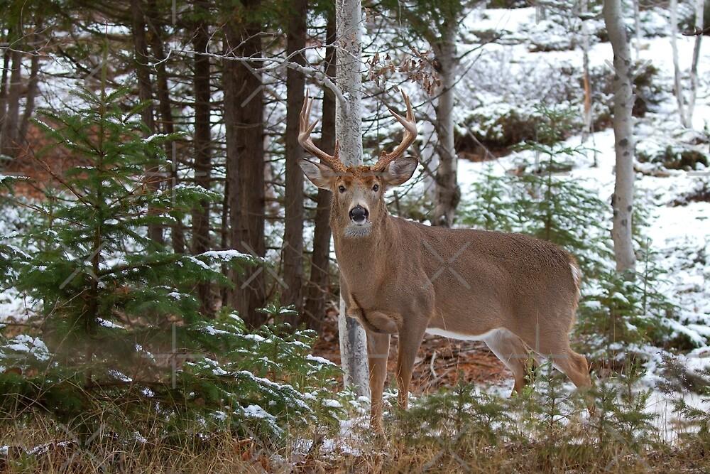 Bullet - White-tailed deer by Jim Cumming