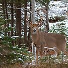 Bullet - White-tailed deer by Jim Cumming