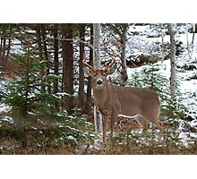 Bullet - White-tailed deer Photographic Print