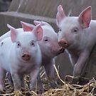 Three Little Pigs by mfsutherland
