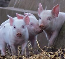 Three Little Pigs by mfsutherland