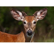 Young spring buck - White-tailed deer Photographic Print