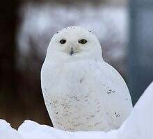 """Amber"" Eyes-Snowy Owl by Chris Coates"